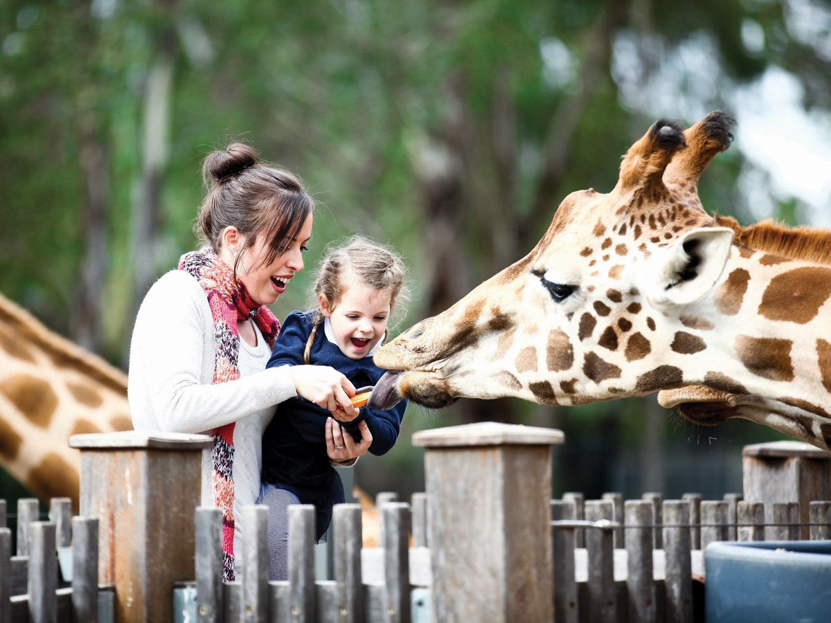 feeding giraffees